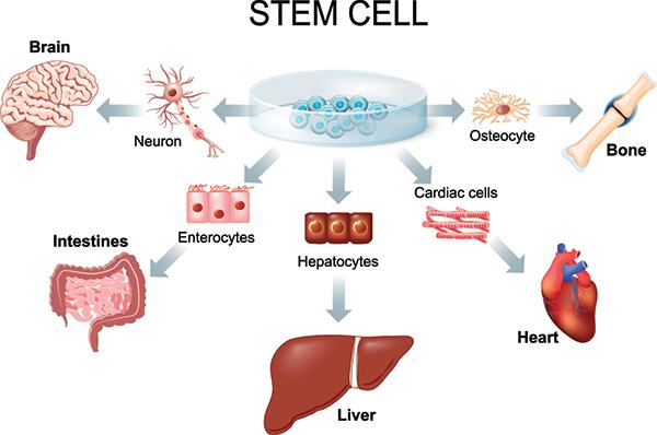 Stem Cell use